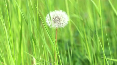 sow : Dandelion seed head in green grass 4K