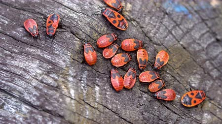 firebug : Red bugs gathered on the old tree 4K Stock Footage