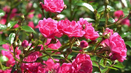 beatiful : Rose flowers blooming in sunlight 4K