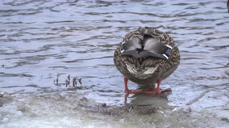 mallard : Female Mallard duck in the cold water Stock Footage