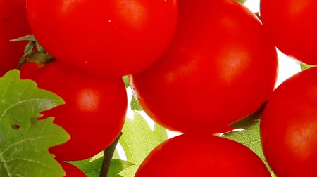 cherry domates : raw fresh cherry tomatoes with green leaves on branch 1920x1080 intro motion slow hidef hd Stok Video
