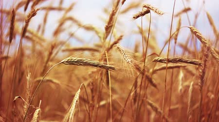colheita : Yellow Wheat Ears Field Blowing In Wind. Rich Harvest Wheat Field, Fresh Crop Of Wheat Ears. Fluctuations During Handheld Shooting