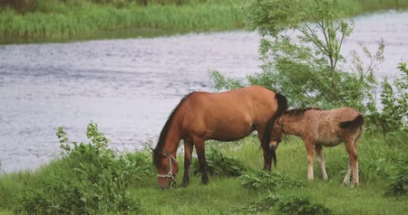 égua : Horse And Foal Young Horse Grazing On Green Meadow Near River In Spring Or Summer Season In Belarus.