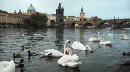 stěhovavý : Prague, Czech Republic. White Swans Swimming In The Vltava River. Famous Old Charles Bridge On Background