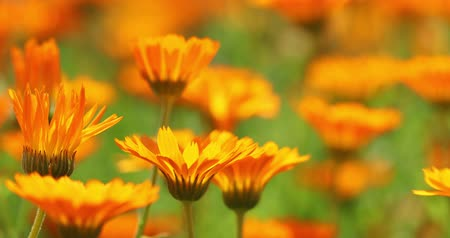 floweret : Orange Flowers Of Calendula Officinalis. Medicinal Plant Stock Footage
