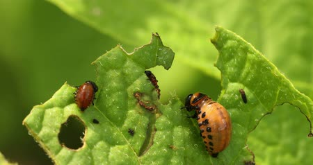 haşarat : Larvae Of Leptinotarsa Decemlineata Eat Potato Leaves. Serious Pest Of Potato. Larva Of Colorado Potato Striped Beetle