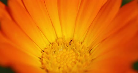 calendula officinalis : Orange Flower Of Calendula Officinalis. Medicinal Plant