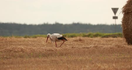 stěhovavý : Adult European White Stork Walking In Agricultural Field In Belarus. Wild Field Bird In Sunny Summer Day. Straw Bale In Summer Wheat Field