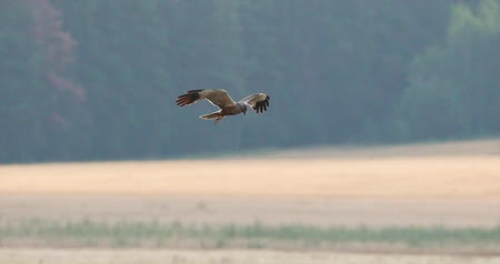 stěhovavý : Hen Harrier Or Circus Cyaneus Wild Bird Flies Over Field In Belarus. The Grey Ghost.