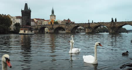 cseh : Prague, Czech Republic. White Swans Swimming In The Vltava River. Famous Old Charles Bridge On Background