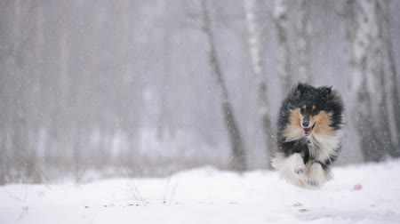 shetland : Funny Young Shetland Sheepdog, Sheltie, Collie Playing Outdoor In Snow, Winter Season. Playful Pet Outdoors. Slow Motion, Slo-Mo