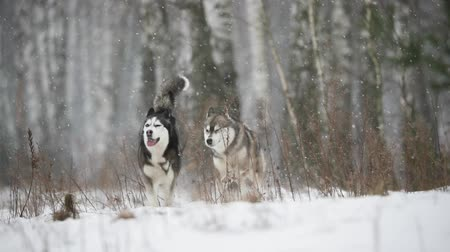 ハスキー : Two Siberian Husky Dog Funny Running Outdoor In Snowy Field At Winter Day. Slow Motion, Slo-Mo 動画素材