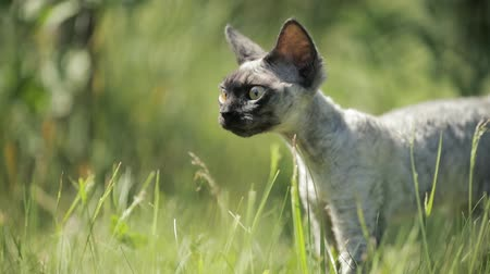 domestic short haired : Funny Young Gray Devon Rex Kitten In Green Grass. Short-haired Cat Of English Breed. Slow Motion, Slo-Mo