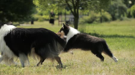 shetland : Funny Adult And Puppy Shetland Sheepdog, Sheltie, Collie Running Outdoor In Green Grass. Summer Sunny Day. Playful Pet Outdoors. Slow Motion, Slo-Mo. Stock Footage