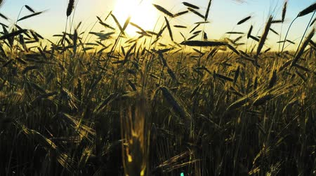 плантация : Sun Shining Through Young Green Wheat In Countryside Rural Field. Farmland Plantation In June Month. Agricultural Landscape In Evening During Sunset Стоковые видеозаписи