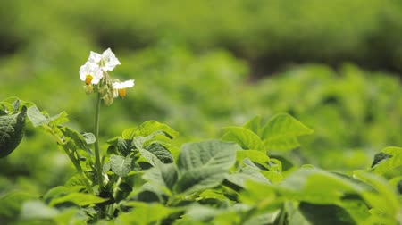 vernal : Close Flowering Blooming Green Vernal Sprouts Of Potato Plant Or Solanum Tuberosum Growing On Plantation In Spring Summer