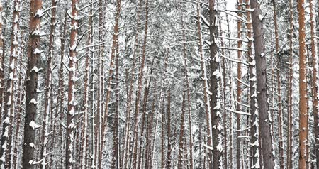bělorusko : Winter Snowy Coniferous Forest During Snowy Day