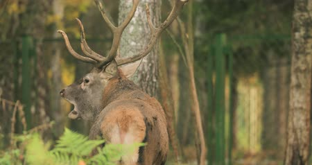 kükreme : Belarus. Male European Red Deer Or Cervus Elaphus Have A Roar During Rut. Red Deer Inhabits Most Of Europe, Caucasus Mountains Region, Parts Of Asia. Male Deer Roaring In Autumn Forest Stok Video