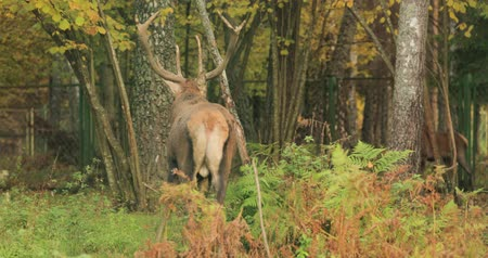 deer : Belarus. Male European Red Deer Or Cervus Elaphus Walking In Autumn Forest. Red Deer Inhabits Most Of Europe, Caucasus Mountains Region, Parts Of Asia