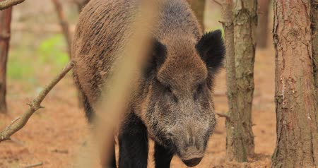everzwijn : Wit-Rusland. Wild zwijn of Sus Scrofa, ook wel bekend als de wilde zwijnen, Euraziatische Wild Pig snuift lucht in herfst bos. Wild Boar Is een Suid Native To Much Of Eurasia
