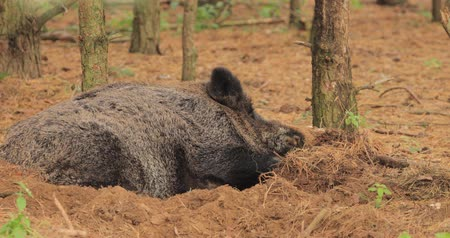 caça : Belarus. Wild Boar Or Sus Scrofa, Also Known As The Wild Swine, Eurasian Wild Pig Resting Sleeping In Autumn Forest. Wild Boar Is A Suid Native To Much Of Eurasia