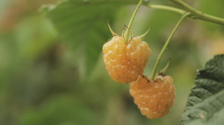 lamponi : Yellow Or Golden Raspberries. Growing Organic Berries Closeup. Ripe Raspberry In Fruit Garden. Panorama, Panoramic View