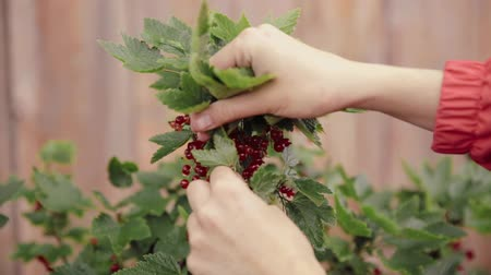 ribes rosso : Ripe Redcurrant Red Currant Berries Lie In The Ladys Palm During Picking Berries In Fruit Garden. Summer Harvest Concept. Close Up
