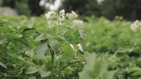 vernal : Flowering Blooming Green Vernal Sprouts Of Potato Plant Or Solanum Tuberosum Growing On Plantation In Spring Summer