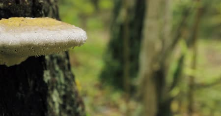 hoof : Berezinsky Biosphere Reserve, Belarus. Polypore Fungus On Tree Trunk In Autumn Rainy Day. Polypores Are Also Called Bracket Fungi, And Their Woody Fruiting Bodies Are Called Conks