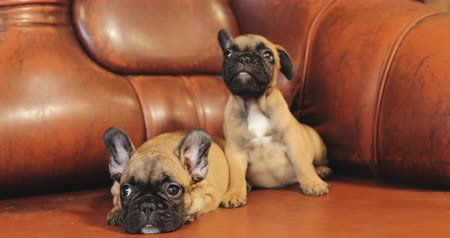 buldog : Two Young French Bulldog Dog Puppy Puppies Sitting On Red Sofa Indoor. Funny Dog Baby