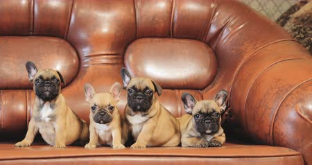 buldog : Group Of Young French Bulldog Dog Puppy Puppies Sitting Posing On Red Sofa Indoor. Funny Dog Babies