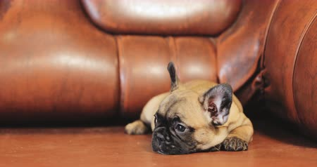 buldok : Young French Bulldog Dog Puppy Sitting On Red Sofa Indoor. Funny Dog Baby Dostupné videozáznamy