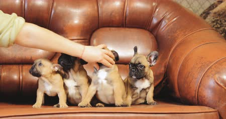 buldog : Woman trying to seat puppies on the sofa. Group Of Young French Bulldog Dog Puppy Puppies Sitting Posing On Red Sofa Indoor. Funny Dog Babies
