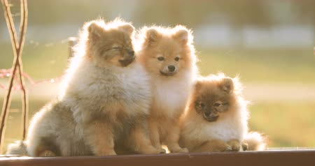 fél : Three Young Red Puppy Pomeranian Spitz Puppies Dogs Sitting On Park Bench Outdoor