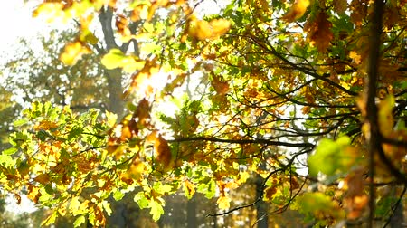 worms eye view : Autumn leaves sun branch Stock Footage