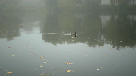 olhando a câmera : Morning lake ducks water Stock Footage