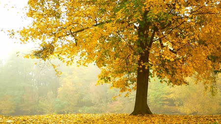 fall through : Fog leaves autumn branch Stock Footage
