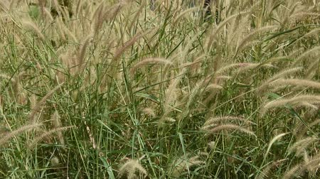 yellowish green : The Liliopsida, Poaceae, Weed Flowers in Thailand.
