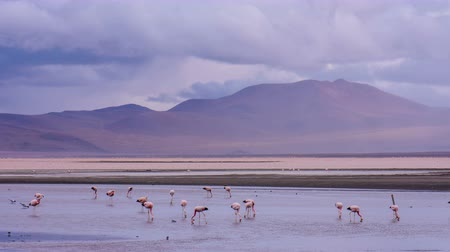 Flamingos on Red Lake in Bolivia