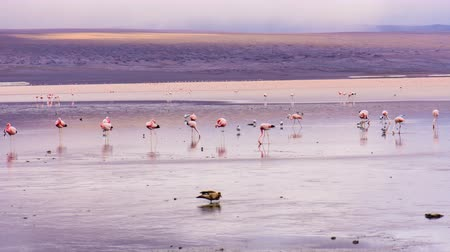 Flamingos on Laguna Colorada in Bolivia