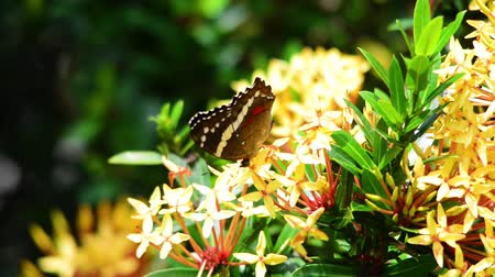 posou : Banded Peacock butterfly feeding on a Ixora flower