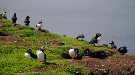 Cute puffins nesting and flying on Lunga Island off the coast of Scotland on a sunny summer day. Handheld shot of curious seabirds standing and lying on the green grass.