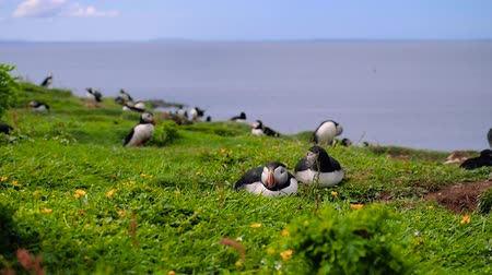 Many puffins nesting on Lunga Island, off the coast of Western Scotland on a sunny summer day. Slow motion steady shot of cute seabirds resting on the green grass. Sea is visible in background.