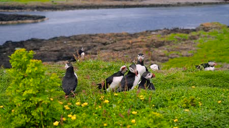 Carefree puffins on Lunga Island, Treshnish Isles, west of Isle of Mull, Scotland. Slow motion handheld shot of curious seabirds standing on the green grass. Sea is visible in the background.