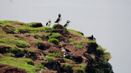 A group of puffins resting and standing on the rock at Lunga Island, Treshnish, Scotland. Slow motion handheld shot of playful seabird opening its beak twice. Many birds flying in the background.