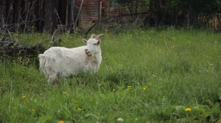 The Goat Eats Grass Stock mozgókép