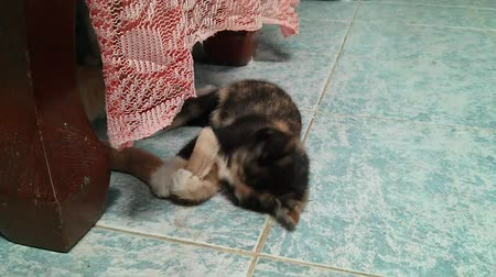 pounce : A kitten teases his mom by chasing and biting her tail