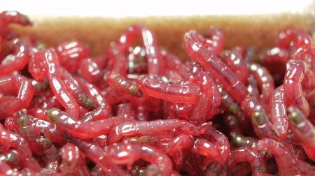 squirm : Live red worms move. Bait for winter fishing. close-up Stock Footage