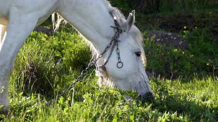 cavalinho : White horse relaxing and eating grass at late evening Vídeos