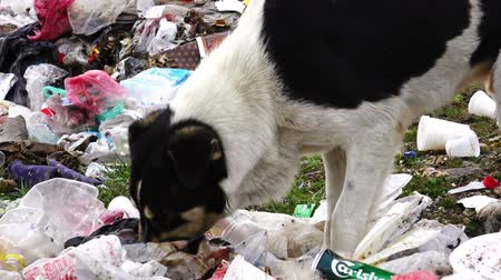 guba : Dolly shot of black dog digging in the garbage, searching for food